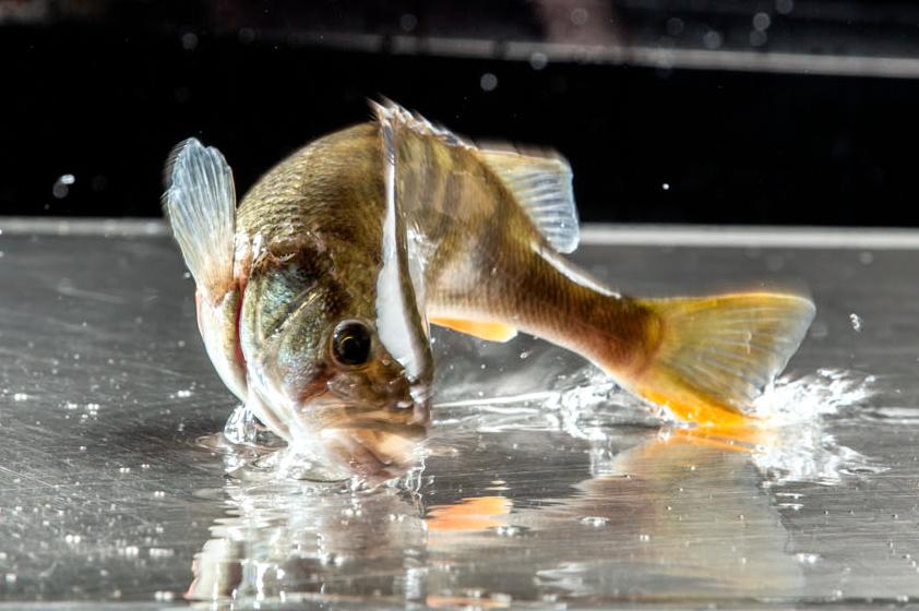 Biofisch Flussbarsch Frischfisch Teich