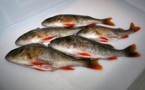 Flusbarsch frisch ausgenommen mit rot leuchtenden Flossen