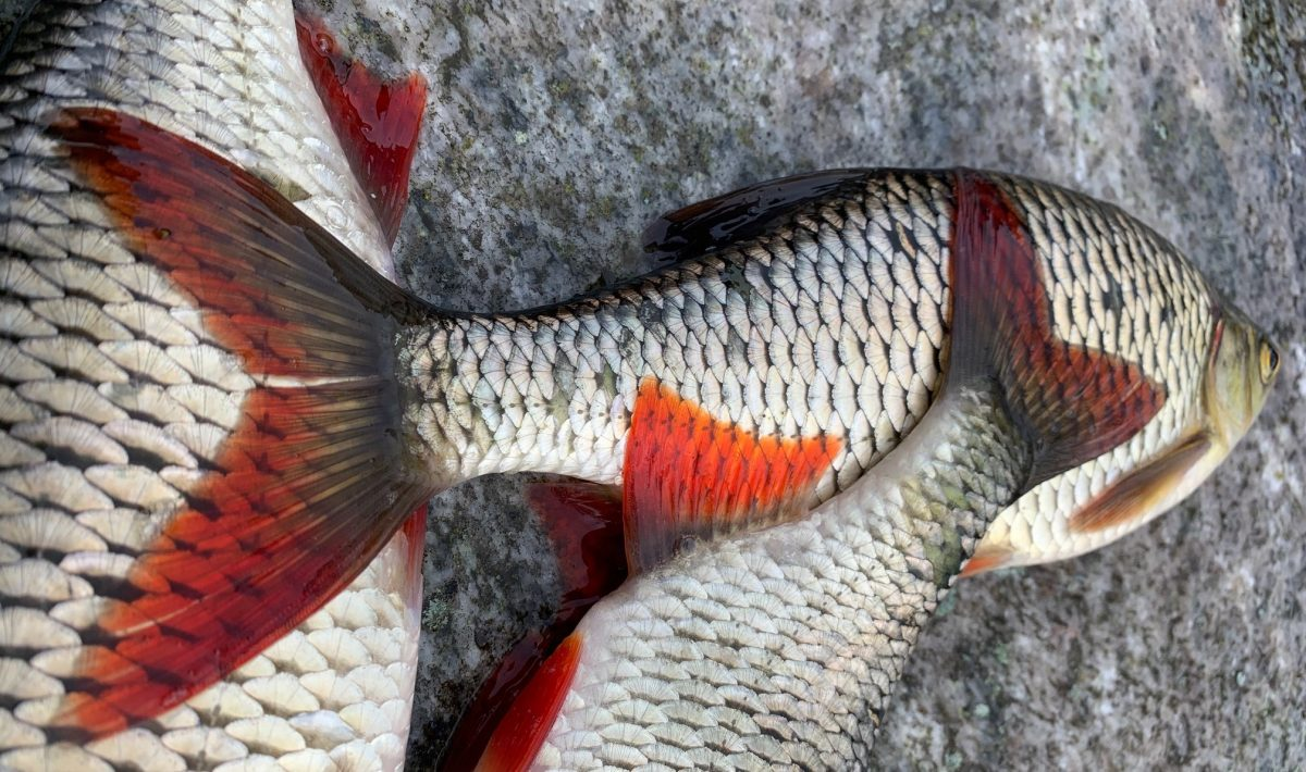 Frischfisch in München Süßwasserfisch Biofisch Donaufisch in Bayern Vom Weihnachtskarpfen bis zum Zander